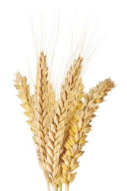 Wheat and barley ears