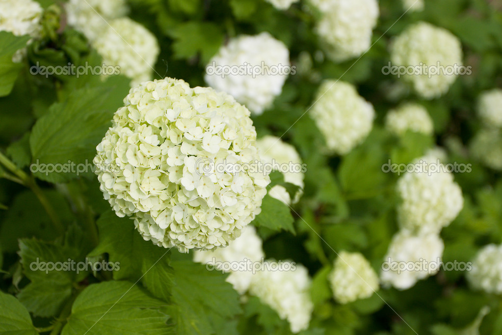 Large White Flowers On A Green Bush Stock Photo Dimedrol68 10750519