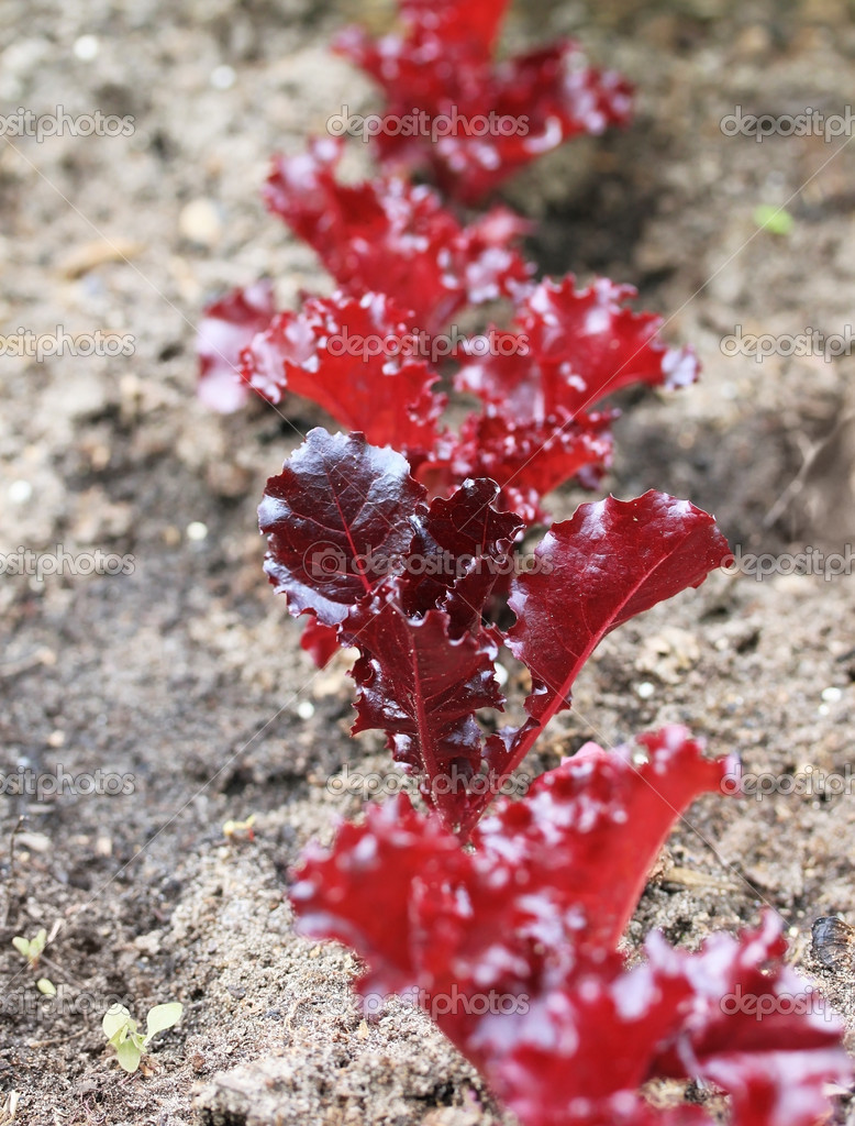 Young red lettuce plant in the soil