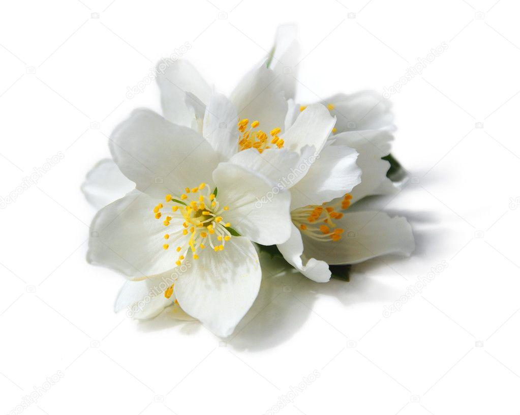 White flowers of jasmine on the white background