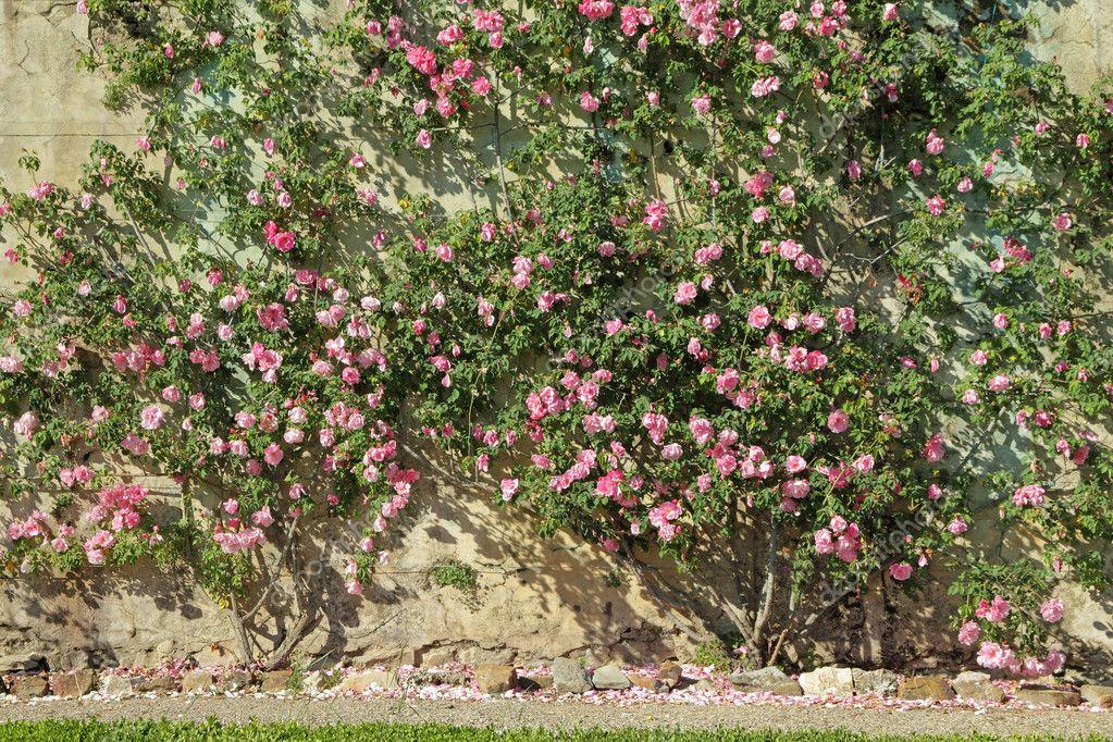 Flowering pink garden rose creeper