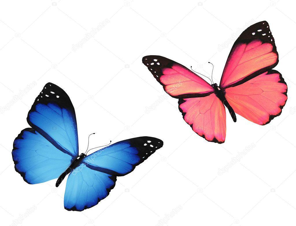 Farfalla Blu E Rosa Isolata Su Sfondo Bianco Foto Stock