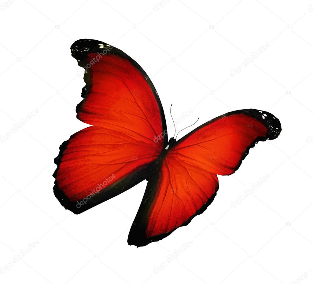Red butterfly flying, isolated on white