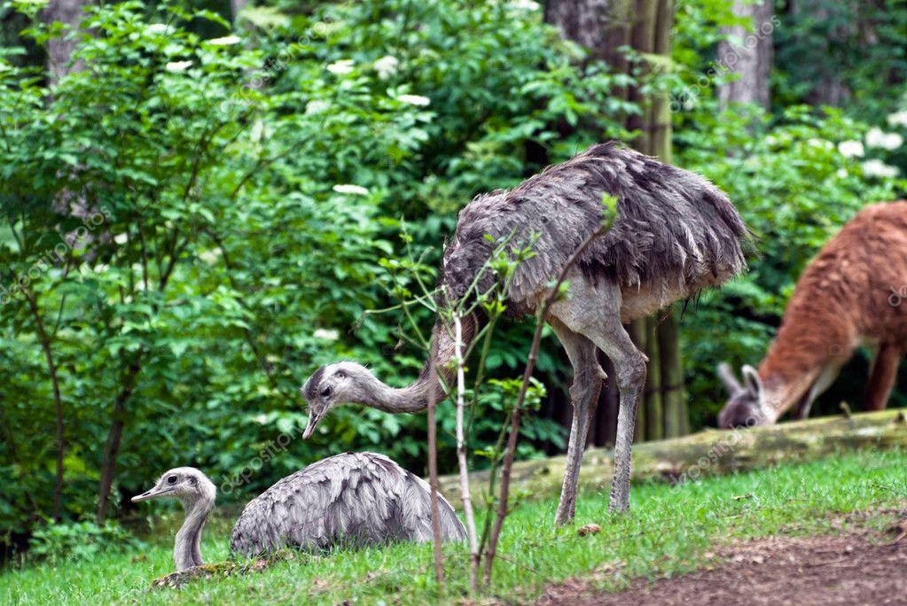 Pair of emu (Dromaius novaehollandiae)