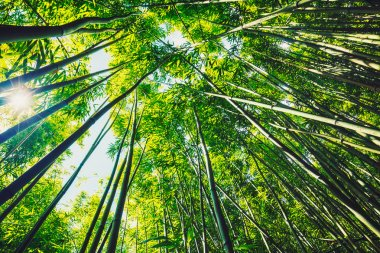 Bamboo forest with morning sunlight stock vector