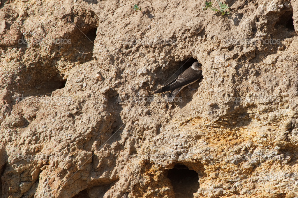 The nests of swallows in a sand quarry