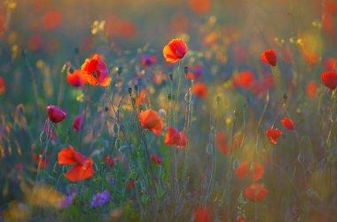 Poppy flowers field at morning stock vector