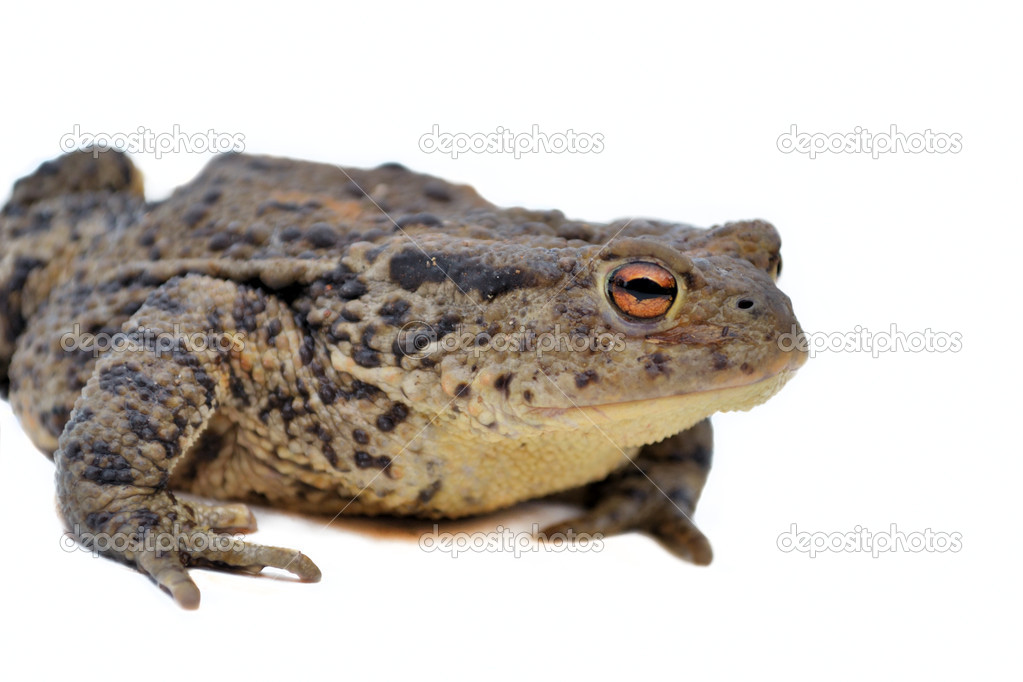 toad on the road stock photo romdersen 10802617
