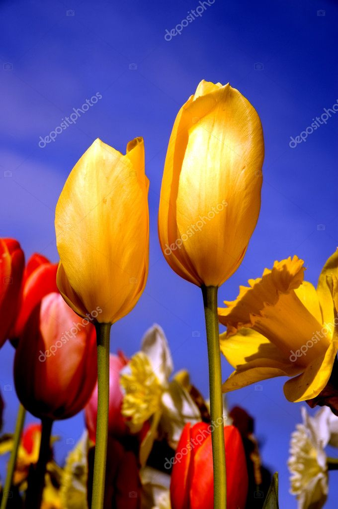 Bright tulips in the afternoon sun