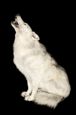 Wolf howling isolated over black