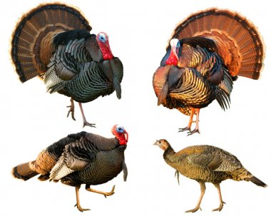Several Turkey toms strutting