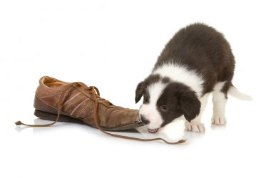 Border collie puppy chewing on a shoe