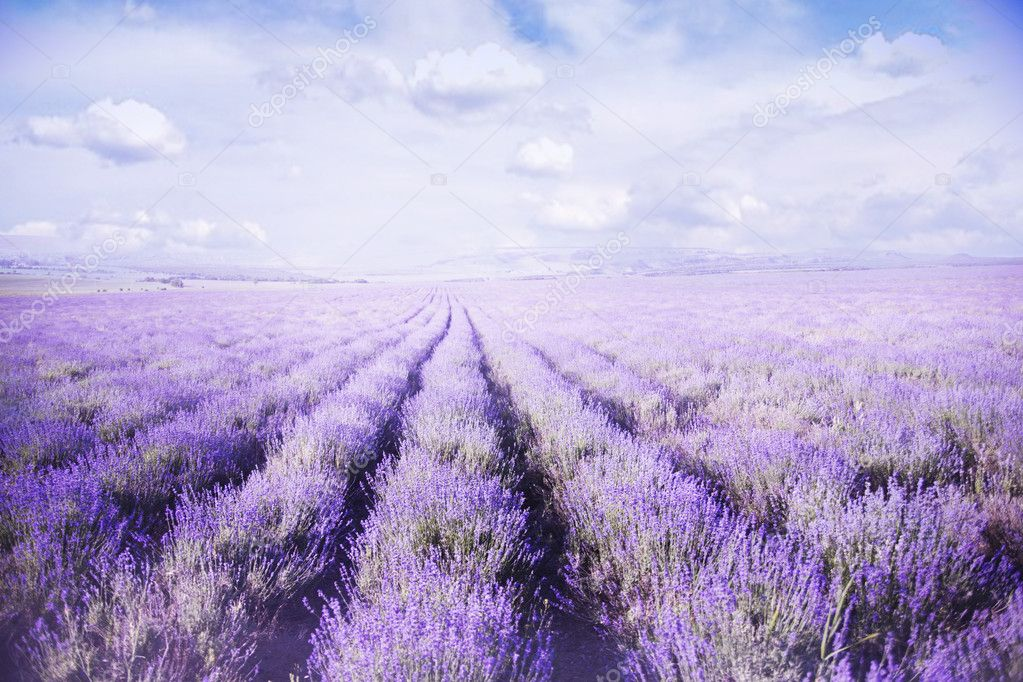 Fields of Lavender Against Blue Sky