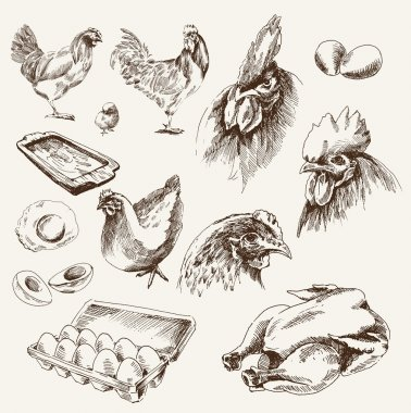 Chicken breeding. collection of vector designs on a white background stock vector