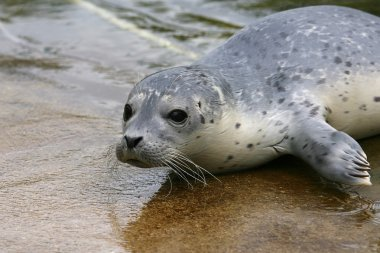 Baby spotted Seal (Phoca largha)