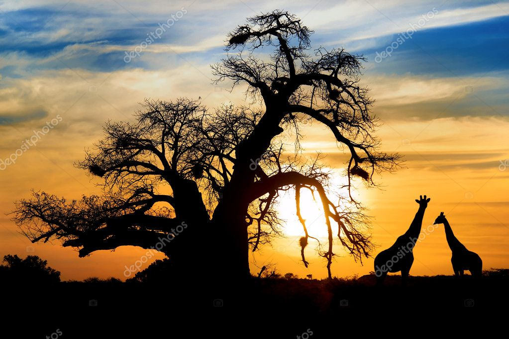 Baobab sunset with giraffe on African savannah