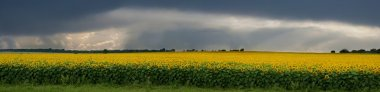 Storm over a field of sunflowers.