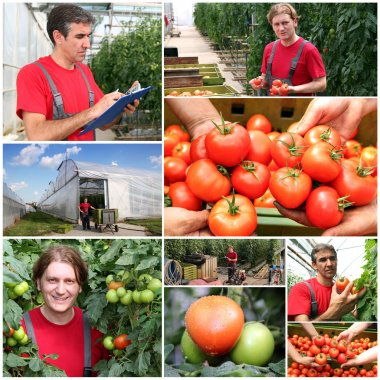 Tomatoes Growing in a Greenhouse - Collage