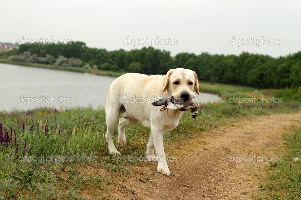 Yellow Labrador carrying a bird at trials