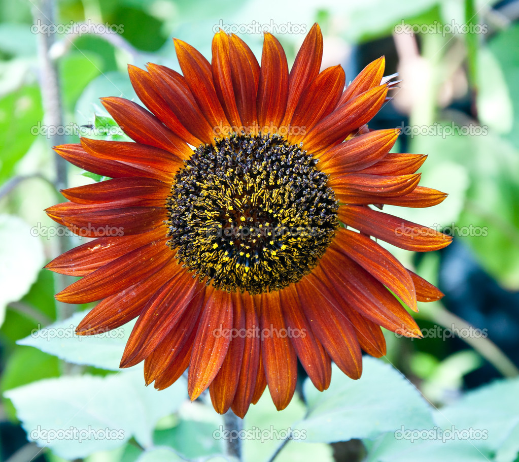 The Brown sunflower