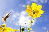Sárga Cosmos virág és a kék ég