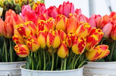 Fresh tulips on display