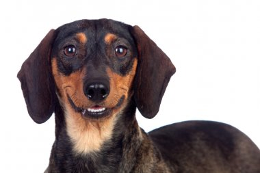 Beautiful dog teckel smiling
