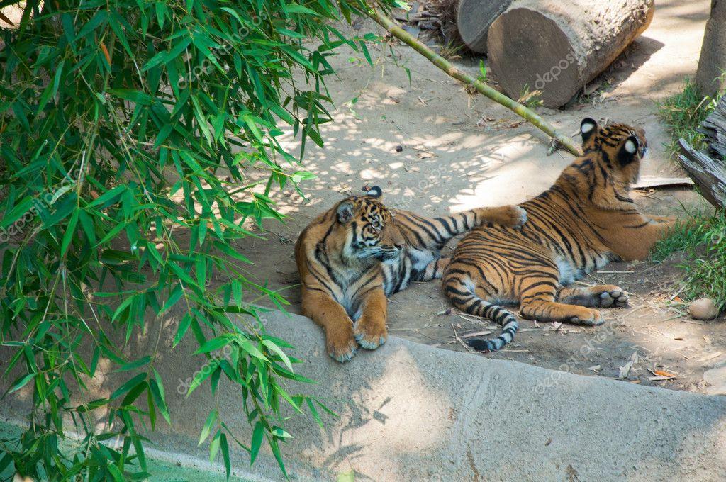 Two Royal Bengal tiger at zoo of Los Angeles