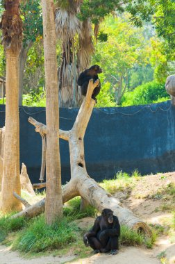 A chimpanzee is hanging on a tree