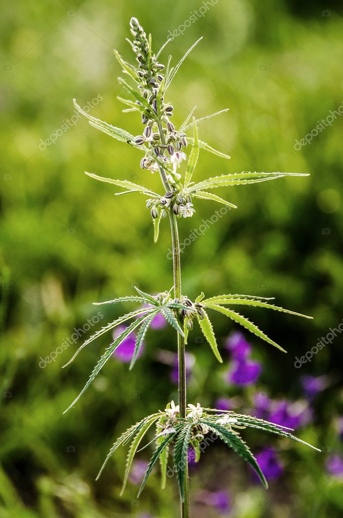Bush of a hemp, known as cannabis with seeds
