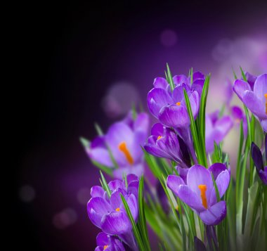 Crocus Spring Flowers Design over Black