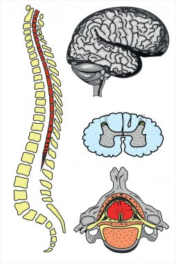 Vector human brain and spine