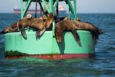 Fotografia Leoni di mare della California