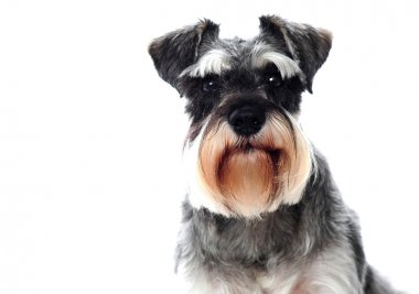 Small black and white miniature schnauzer dog