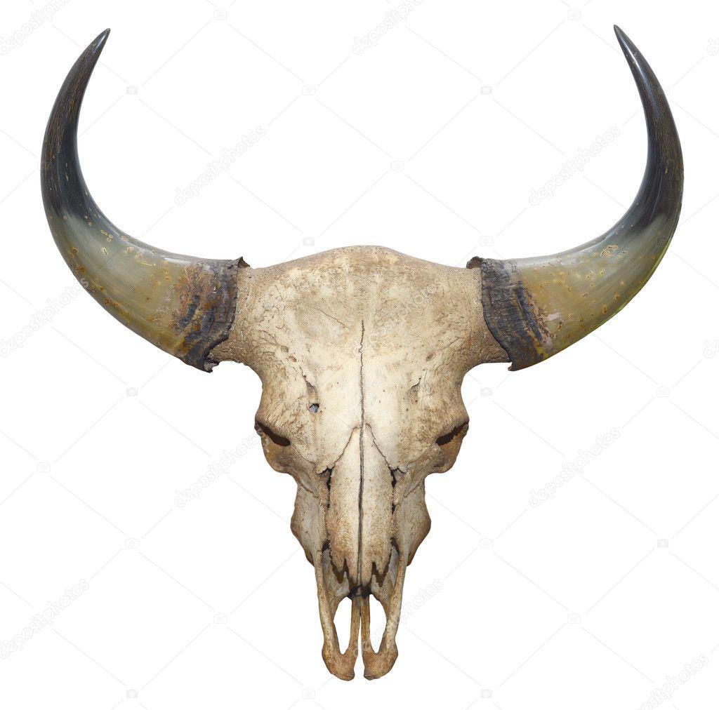 cráneo de cabeza de Toro aislado sobre fondo blanco — Fotos de Stock ...