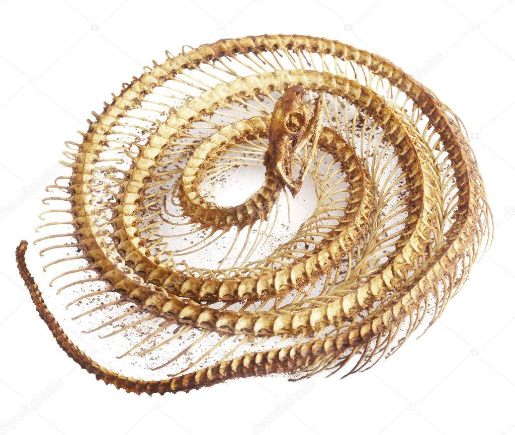 serpiente de hueso sobre fondo blanco — Foto de stock © bluehand ...