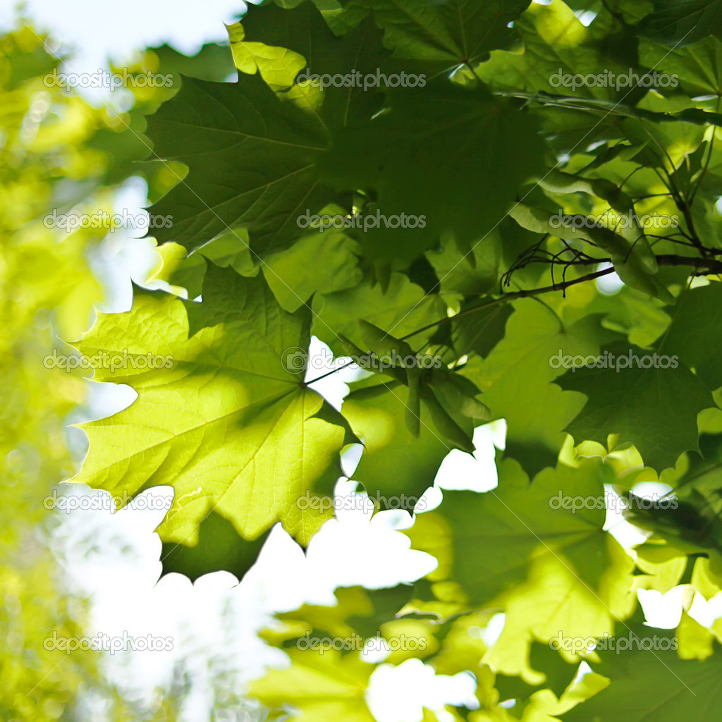 Green maple tree leaves in spring