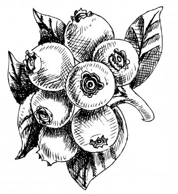 Bilberry - vector illustration