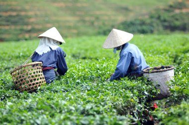 Woman picking tea leaves in a tea plantation Vietnam