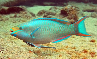 Parrot fish and Hitch hiker