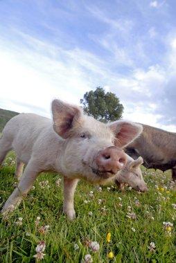 Close up of a pink pig