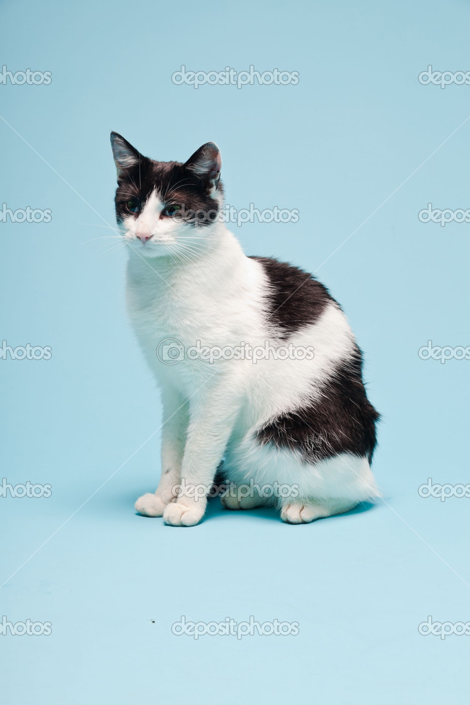 White cat with black spots isolated on light blue background. Studio ...