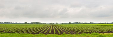 Panorama landscape of agrarian plantation field with cloudy sky.