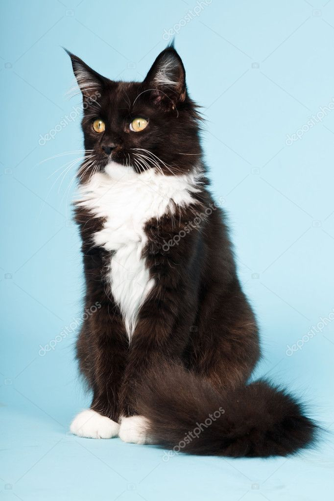 Cute Maine Coon Kitten Black And White Isolated On Light Blue
