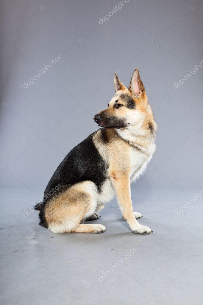 Beautiful German Shepherd Dog Isolated On Grey Background Studio