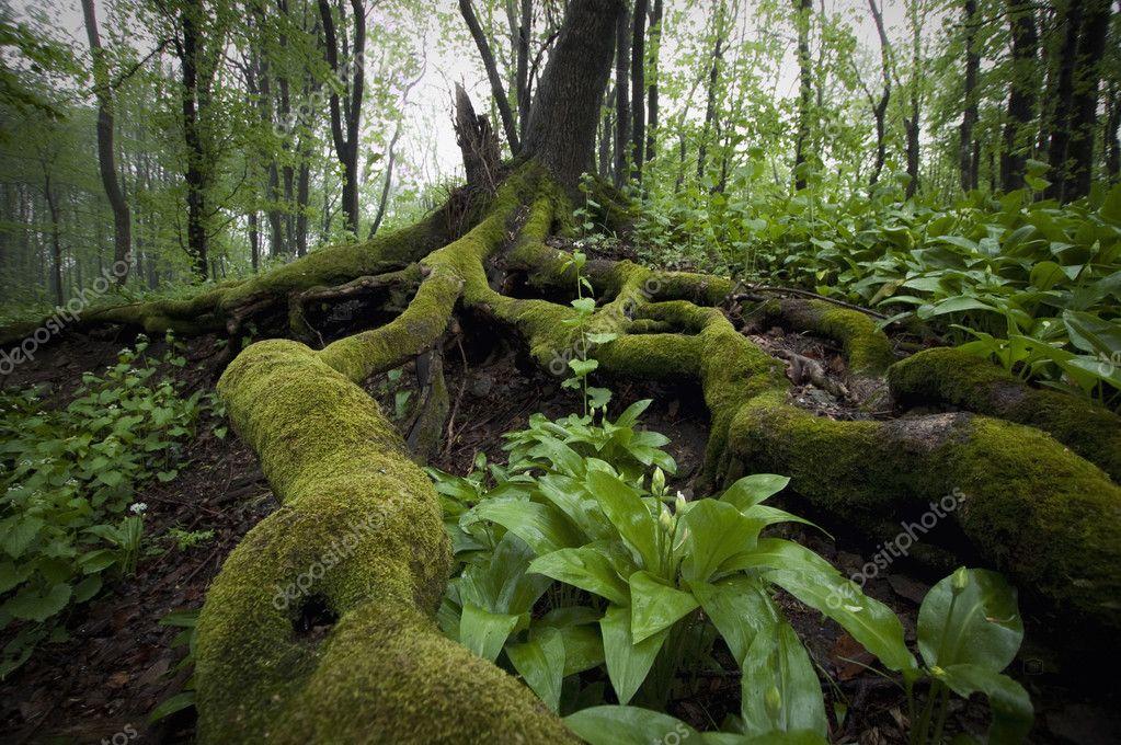Фотообои Корни дерева с мхом и зелеными листьями в туманном лесу после дождя