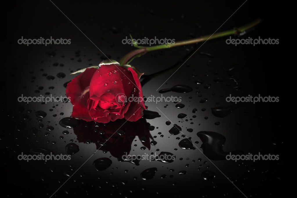 Red rose, black wet background