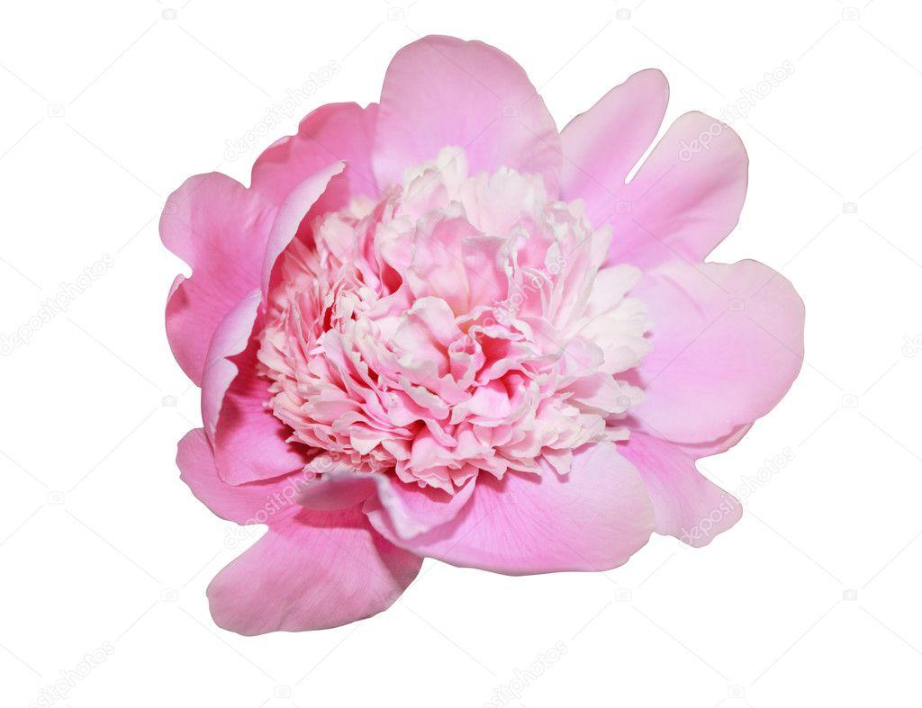 Isolated pink peony