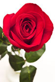 Fotografie rudá růže
