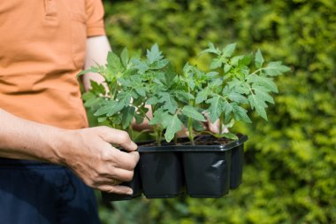 Planting tomatoes in the garden